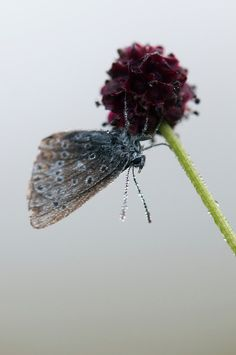 Common blue butterfly, polyommatus icarus, on great burnet, Sanguisorba officinalis, covered in dew from earl morning mist