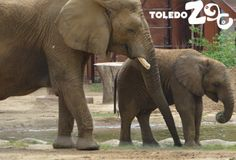 May 2013: Tembo Trail includes a shallow pool where the elephants can splash and cool off. www.toledozoo.org