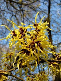 Far Above Witches Gulf Dappled Sunlight >> 23 Most Inspiring Witch Hazel Images Glass Conservatory Plants