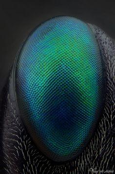 ˚Ensign Wasp's Eye (Evaniidae)