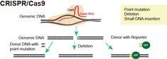 CRISPR Knockout Mouse