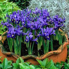 Edible Flowers, Colorful Flowers, Spring Flowers, Iris Reticulata, Dwarf Iris, Sutton Seeds, Iris Rhizomes, Black Walnut Tree, Planting Tulips