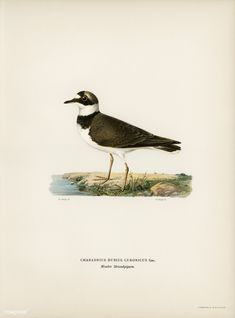 Little Ringed Plover (Charadrius dubius) illustrated by the von Wright brothers. Digitally enhanced from our own 1929 folio version of Svenska Få Vintage Birds, Vintage Images, Vintage Bird Illustration, Closer To Nature, Free Illustrations, History Books, Wright Brothers, Natural History, Free Images