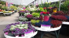 Ornamental Cabbage & Colourful Heathers @ Horkans Galway