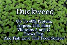 Duckweed to feed your fish in your Aquaponics