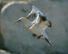 "Cape Gannet*World's Weirdest: ""Missile"" Birds: Capable of diving at 60 miles per hour, cape gannets are nature's missiles. They're just as deadly underwater, where they can pursue prey at depths of up to 40 feet."