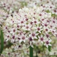 I've been on the lookout for a white allium for years, but all the ones I've grown seemed a bit murky and grey to me. Until this one - Allium 'Silverspring' has clear white petals around purple centres. Perennial Bulbs, Hardy Perennials, Flowers Perennials, Planting Flowers, Allium Flowers, Home Flowers, Beautiful Flowers, Beautiful Gardens, Beautiful Pictures