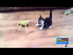Lizard Causes Kitten to Have Epic Freak Out - YouTube