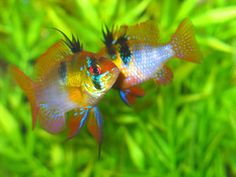 Blue Ram (Mikrogeophagus ramirezi) courtship. One of my all-time favorite tropical fishes.