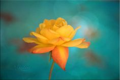 Flower of Love - Photography print of yellow rose.  Enchanted and romantic. Yellow and teal turquoise green, wall art, home decor. $25.00, via Etsy.