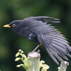 ♂ Common blackbird