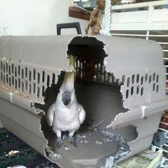 This is exactly why you need a sturdy, bird-proof travel cage.