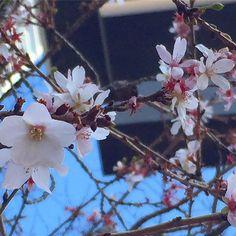 【acham.cosmos】さんのInstagramをピンしています。 《冬桜…*❀ 赤坂日枝神社の鳥居の下に咲く桜の花… 毎年、新年にここの桜が可愛く咲いているのを見ると…あっ、咲いてる…*♪って、嬉しくなる…  冬桜…寒桜…よくわからないけれど、多分、寒桜かな…? 冬桜の花言葉は、「冷静」 寒桜の花言葉は、「きまぐれ」  種類によって、花言葉も違うんですね…  春に卒業や入学…新しい門出を見守ってくれる桜の花…新年も新たな気持ちをきっと応援して咲いていてくれてるのかな… 年が明けて、北風と寒さを乗り越えたら、またすぐ大好きな春がやってくる… 明日は春の七草…七草粥… お花屋さんに啓翁桜も並びだしたかな…  #桜#寒桜#冬桜#赤坂日枝神社#春の七草#花#花言葉#花好き#花撮り人#はなまっぷ  #cherry blossoms#cerisier#flower #fleur#sakura#Cerasus × parvifolia #Prunus × parvifolia#winter cherry blossoms#Hie shrine#igersjp #whim_fluffy…
