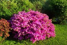 Azalea Bushes- I live in Texas, therefore, I grow Azaleas! They are so pretty in bloom, then are a nice shaped evergreen bush the rest of the year, they are non-fragrant, but their pretty blooms make up for that! (If you want long lasting blooms, plant out of the hot afternoon sun!) mine do best in mostly shade on the back-side of my house.