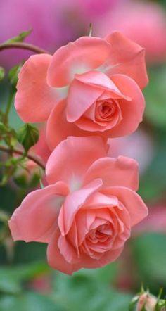 ✿coral roses