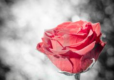 Red Rose colour isolated.
