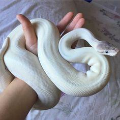 """ถูกใจ 1,604 คน, ความคิดเห็น 13 รายการ - Photos of my own snakes  (@serpentine_king) บน Instagram: """"This is stunning, I need one in my life  Credit @loreptil #reptiles #snakes #ball #pythons"""""""