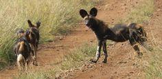 Wild dog crossing the road & heading back into the bush at Loisaba Wilderness, Laikipia, Kenya.  22.7.12    https://www.facebook.com/media/set/?set=a.10151341016480008.813729.10150107915730008=3
