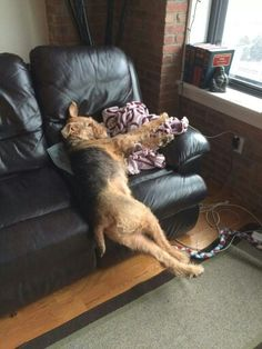 Airedale Sleep Position # 48