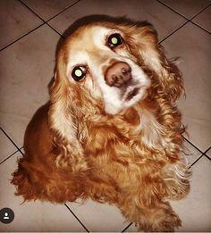 Lost Dog - Cocker Spaniel - Miami, FL, United States