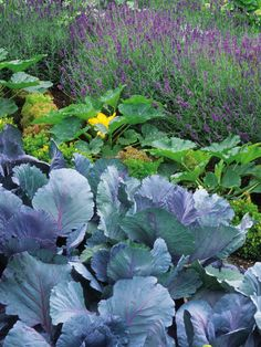 Decorative Food Crops  Purple-flowered lavender echoes the vivid cabbage leaves in this garden. The lively mix of produce and ornamental planting is typical of the cottage garden style.