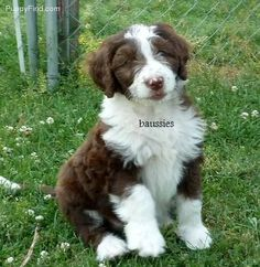 Aussiedoodle!! We r going to have some of these! So cute
