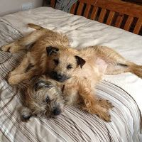 Border Terriers relaxing on the bed