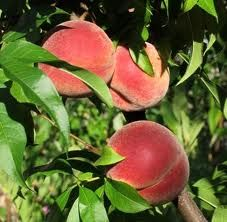 Seeing a picture of a peach and Trying to guess the variety... Farm market problems