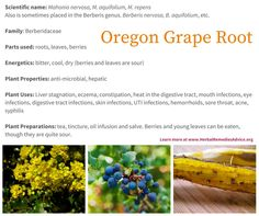 Oregon grape root excels at treating infections and optimizing a sluggish liver. Its specific considerations are for heat with discharge or moist conditions. It is most often formulated, although it can be used as a simple especially when used for infections. This is abundant and incredibly important herbal medicine.
