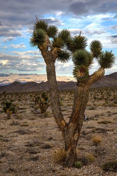 Joshua Tree by James Marvin Phelps on 500px