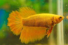 Big tail halfmoon female