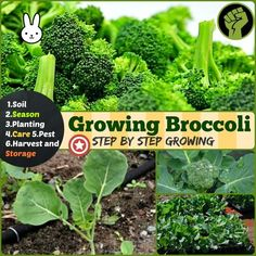#6 Steps Growing broccoli: Soil, Planting, Care, Harvest and Storage. Growing Broccoli: How to grow broccoli 1.Soil 2.Season 3.Planting 4.Care 5.Pest 6.Harvest and Storage + Growing In containers and Broccoli Sprouts from seed.
