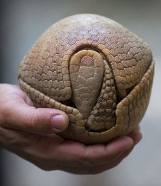 A Defensive Armadillo
