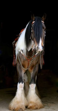 Beautiful Clydesdale-multi color