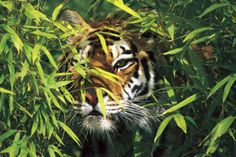 Tiger Peering Through Screen of Bamboo Leaves Mens Tiger Tattoo, Bamboo Leaves, Big Cats, Animal Photography, Stone, Nature, Catalog, Posters, Painting