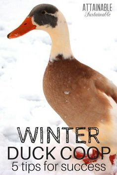 In harsh, cold climates there are some simple tactics for keeping things hospitable in the duck coop. The biggest issue with ducks is the water -- they need it, but in harsh winters that water easily turns into a mucky mess or freezes. Adopt these ta Backyard Ducks, Backyard Farming, Chickens Backyard, Fun Backyard, Pet Ducks, Baby Ducks, Duck Waterer, Duck Pens, Duck Duck