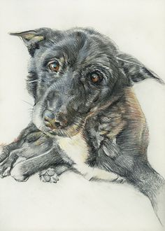 Pan Tau. Farbstiftzeichnung / colored pencil drawing. Auftragsarbeiten / commissioned works: www.hundepersoenl… #dogportrait #tierportrait #art #dogart #animalartist #petportrait