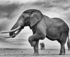 Majestic Animals, Animals Beautiful, Cute Animals, Bull Elephant, Elephant Love, Elephant Black And White, Man Vs Nature, African Bush Elephant, Elephant Photography