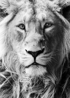 Itar the asiatic lion All Rights Reserved