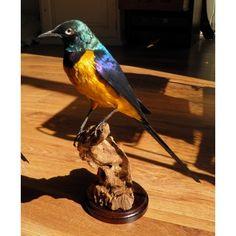 The Superb Starling. Dutch Taxidermy! www.demuseumwinkel.com