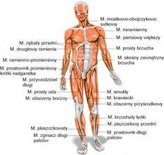 anatomia człowieka, mięśnie przód , dwugłowy, zębaty, przywodziciel, odwodziciel , centrum sportu