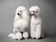 Two of my favorite clips/cuts-- continental and german on standard poodles Kendra and Paxton. photo: Yie Sandison