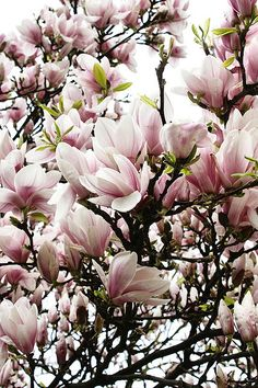 To watch magnolia blooms suddenly unfurl on bare branches is one of early spring's most enchanting moments. Magnolia soulangeana produces large bowl-shape flowers in shades of pink which are sweetly scented. It grows 20 feet tall and wide. Flor Magnolia, Magnolia Trees, Magnolia Flower, Trees And Shrubs, Flowering Trees, Ikebana, Dream Garden, Spring Flowers, Garden Inspiration