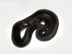 Super Black Pastel - Morph List - World of Ball Pythons
