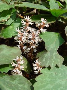 Native groundcover, evergreen, easy maintenance, shade friendly - Pachysandra procumbens Allegheny spurge from North Creek Nurseries Ivy Plants, Shade Plants, Rhododendron Care, North Creek, Ground Cover Plants, Shade Perennials, Plant Species, Native Plants, Shade Garden