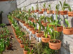 Orchids in a clay pots