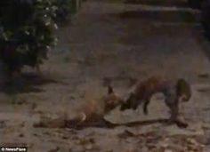 """""""O Grito do Bicho"""": Raposas travam uma luta feroz pelas ruas de Londre..."""