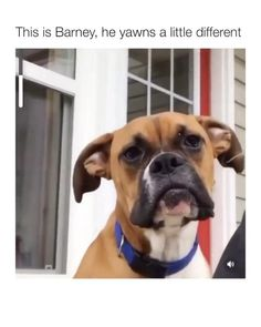 Funny Animal Jokes, Funny Dog Memes, Funny Dog Videos, Really Funny Memes, 9gag Funny, Memes Humor, Funny Stuff, Cute Funny Dogs, Cute Funny Animals