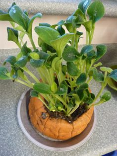 Growing pumpkin sprouts inside the pumpkin- such a fun and simple science investigation in our classroom.