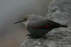 Wallcreeper (Tichodroma muraria) Bird near the Kosi river.